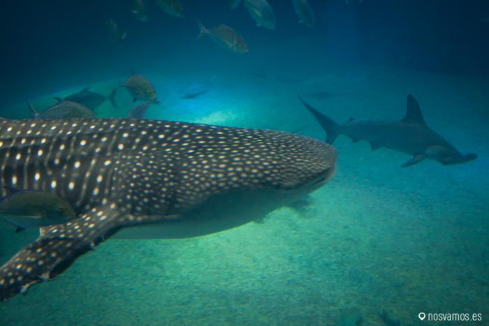 Un tiburón ballena, el reclamo del acuario