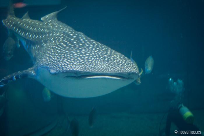 Cada vez que el tiburón ballena pasa por delante acojona