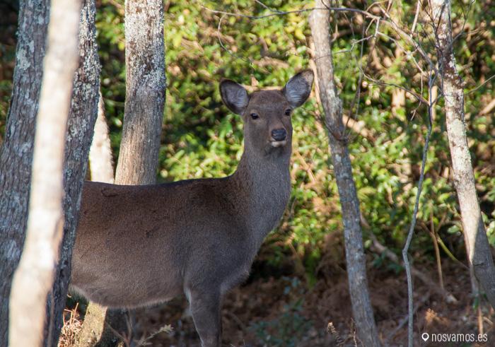 Ciervos, el habitante natural de Nara