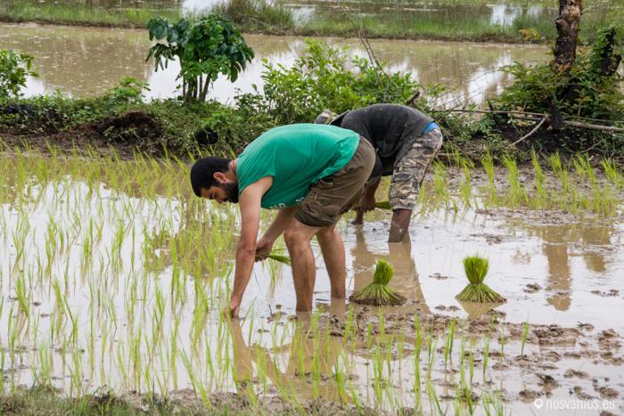 A plantar arroz