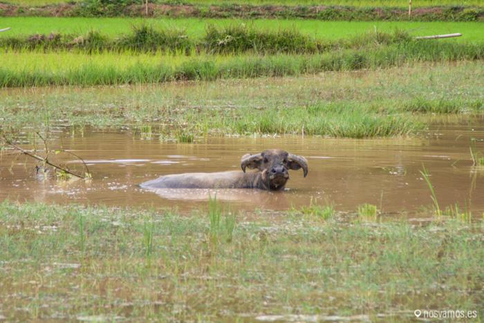 Un búfalo de agua