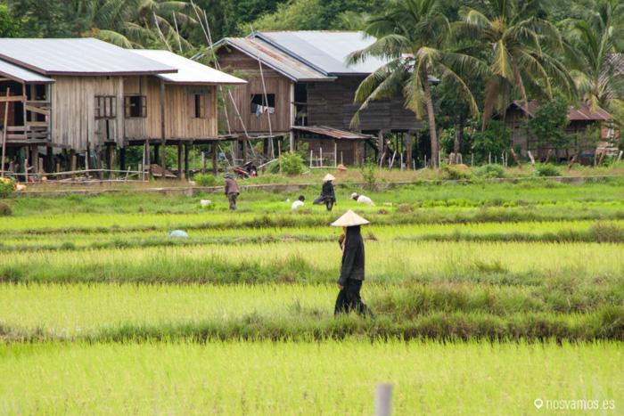 Trabajando en los campos de arroz